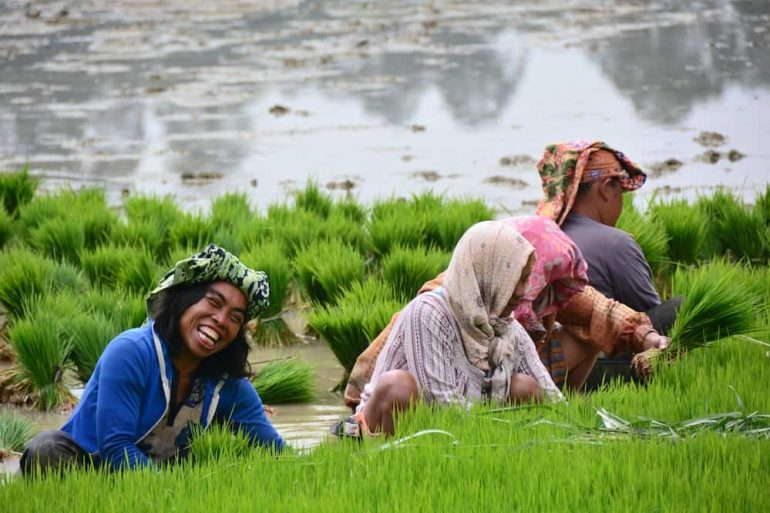 Toraja Women in the rice field